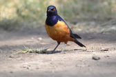 African bird, Superb starling, on the ground — Stock Photo