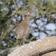 Red neck francolin on a branch — Stock Photo