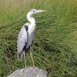 Black-headed Heron on a rock — 图库照片