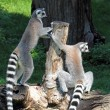 Two ring-tailed lemurs (Lemur catta) on a log — Stock Photo