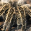 Stock Photo: Frightening giant tarantula