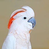 Portrait of a Salmon-crested Cockatoo on uniform background — Stock Photo