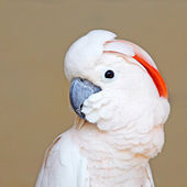 Portrait of a Moluccan Cockatoo on uniform background — Stock Photo