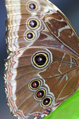 Wing of an owl butterfly — Stok fotoğraf