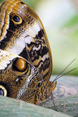Detail of an owl butterfly — Stock Photo