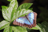 Metallic blue Butterfly on a leaf — Stock Photo