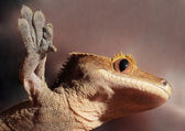 Caledonian crested gecko on a glass — ストック写真