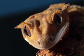Portrait of a Caledonian crested gecko — Stock Photo