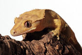 Caledonian crested gecko on a branch — Foto de Stock