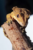 Caledonian crested gecko on a bamboo cane — Stock Photo