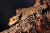 Caledonian crested gecko on a branch — Stock Photo