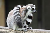 Ring-tailed Lemur Catta sitting and covering with tail — Stock Photo