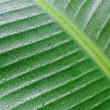 Banana leaf with water drops — Stock Photo #49218397
