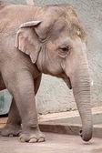 Asiatic elephant (Elephas maximus) walking — Stock Photo