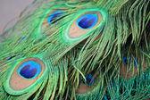 Closeup a peacock feathers (Pavo cristatus) — Stock Photo