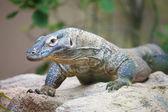 Komodo dragon on a rock — Stock Photo