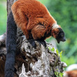 Red ruffed lemur yawning — Stock Photo #49415875