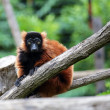 Red ruffed lemur on a tree — Stock Photo #49415893