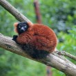 Red ruffed lemur on a tree — Stock Photo #49415907