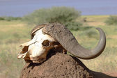 Buffalo skull on a mound of earth — Stock Photo