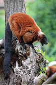 Red ruffed lemur yawning — Stock Photo