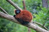 Red ruffed lemur on a tree — Stock Photo