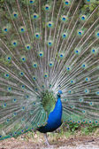 Indian peafowl with opened tail — Stock Photo