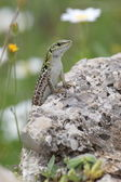 Italian wall lizard on a rock — Stock Photo