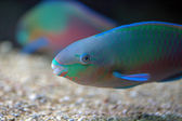 Colorful parrotfish — Stock Photo