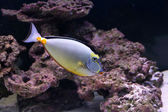 Elegant unicornfish in aquarium — Stock Photo