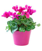 Cyclamen flower — Stock Photo