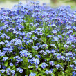 Forget-me-not flowers — Stock Photo #13597623