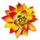 Echeveria flower — Stock Photo