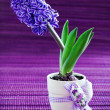 Stock Photo: Hyacinth flower