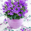 Campanula flowers - Stock Photo