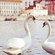 Swans — Stock Photo #23943569