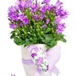 Campanula flowers — Stock Photo #23943577