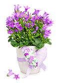Campanula flowers — Stock Photo