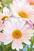 Marguerite flowers — Stock fotografie