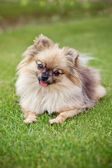 Spitz pomeranian dog — Stock Photo