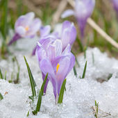 Crocus flowers — Stok fotoğraf