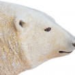 Polar bear on white background — Stock Photo