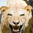 Stock Photo: Lion portrait