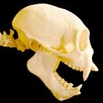 Monkey skull — Stock Photo #24772373