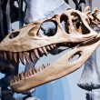 Dinosaur skeleton — Stock Photo