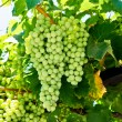 Stock Photo: Bunches of wine grapes