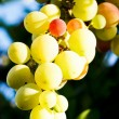 Bunches of wine grapes — Stock Photo
