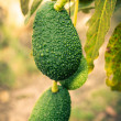 Avocados on a tree — Stock fotografie