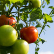 Green and Red Tomatoes on plant — Stock Photo #12292244