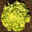 Fresh Lettuce in the Garden (top view) — Stock Photo